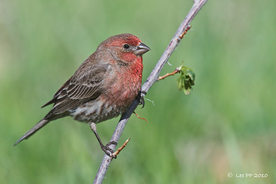 House finch @ Utah, USA