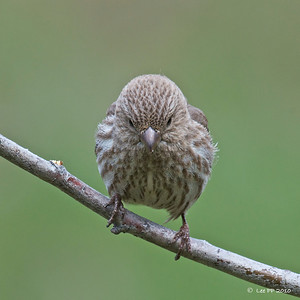 House Finch - female @ Utah, USA  Thank you for the nod!
