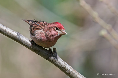 Cassin's finch @ Utah, USA