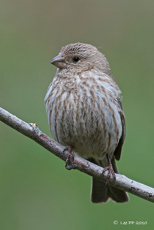 House Finch - female @ Utah, USA