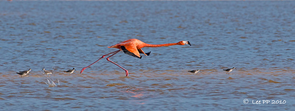 Pink Flamingo / American flamingo taking off....  It was really interesting watching them take off....they do need a bit of a run-way.