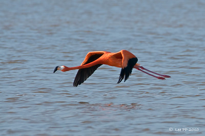 Pink Flamingos / American flamingos in flight