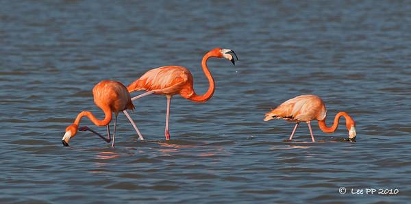 Pink Flamingos / American flamingos