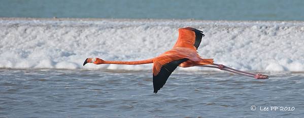 Pink Flamingo / American flamingo in flight