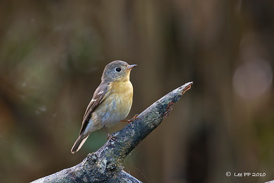 Mugimaki Flycatcher - Bukit Tinggi - March 2010