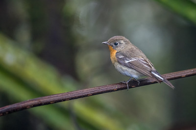 Snowy-browed flycatcher (female) - Ulu Kali - 24 Jan 2015