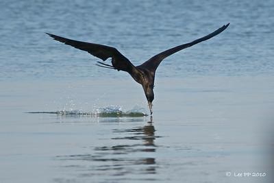 Magnificent frigatebird  @ Yucatan, Mexico  In action......