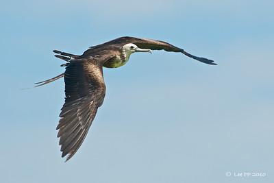 Magnificent frigatebird @ Yucatan, Mexico
