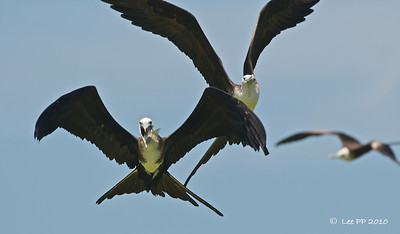 Magnificent frigatebirds @ Yucatan, Mexico  Better swallow up fast....because many others were eyeing your fish.........
