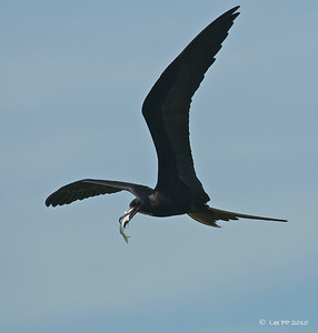 Magnificent frigatebird  @ Yucatan, Mexico  With another catch.