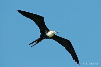 Magnificent frigatebird - Juvenile @ Yucatan, Mexico