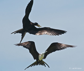 "Magnificent frigatebirds @ Yucatan, Mexico  Although it can fish well, it is easier and more ""fun"" to steal.... these birds are known for its aerial piracy......."
