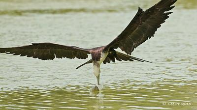 Magnificent frigatebird  @ Yucatan, Mexico  Almost got it..........