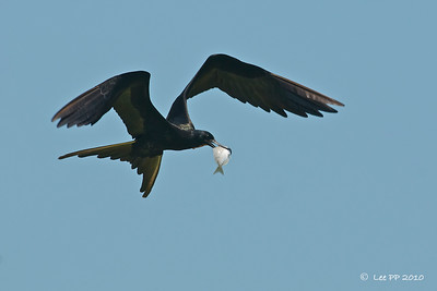 Magnificent frigatebird  @ Yucatan, Mexico  A great fishing bird....Spotted a big flock of frigatebirds circling and diving into the waters along a river where a few men were fishing from the overhead bridge. Very much family-excursion - men fished, their wives/sisters/females :-) were all busy cutting the fish up and frying them in deep-hot oil over a fire ....while the children played in the shallow waters with rubber tubes...the older men slept/half-asleep on the hammocks....