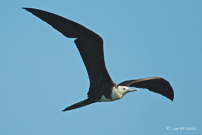 Magnificent Frigatebird - Juvenile @ Yucatan, Mexico  White head and underparts.