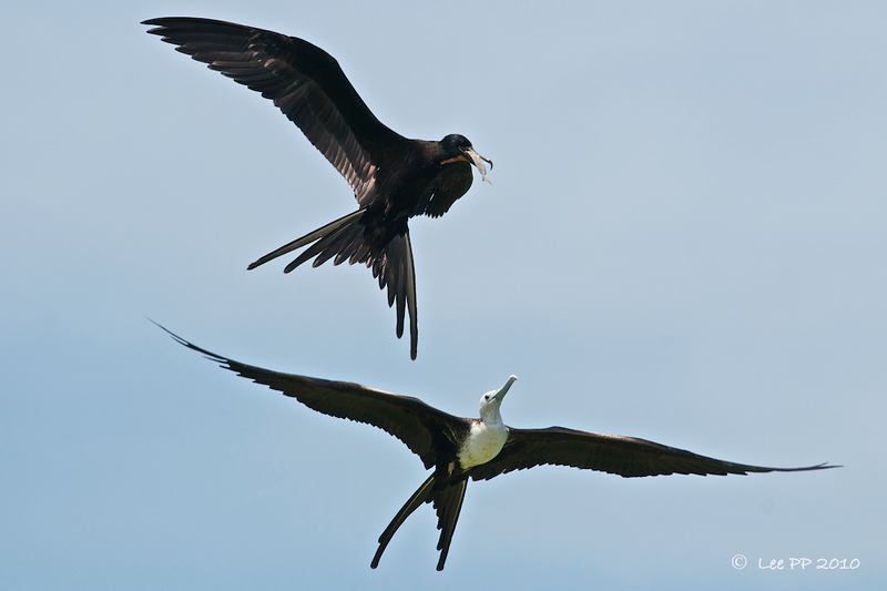 Magnificent frigatebirds @ Yucatan, Mexico  The juvenile eyeing the fish caught by the adult......