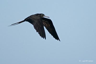 Magnificent frigatebird - male adult @ Yucatan, Mexico