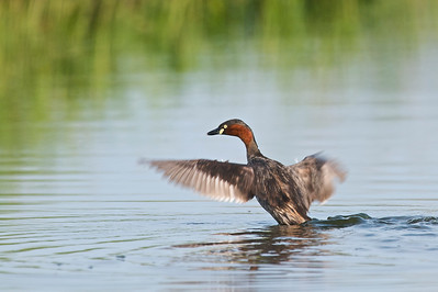 Little Grebe  @ Byram, Penang, Malaysia  Another set of action!