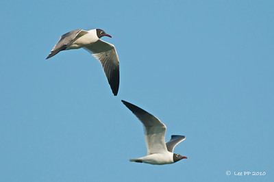 Laughing gulls  Maybe the Mom & Dad of the juvenile..... ;-) Well, they were traveling together.....:-p