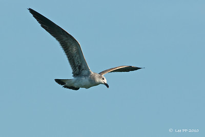 Laughing gull - Juvenile  I have just been taught on how to recognise this bird - by looking at the broken white-eye ring.