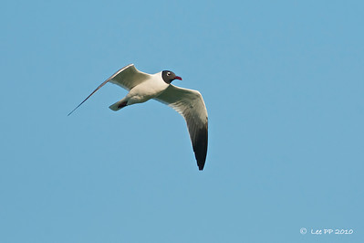 Laughing gull - adult  It was easier to spot the broken white-eye ring in the adult........