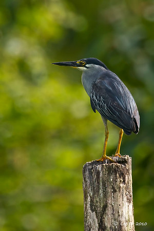 Little Heron @ Kinta Nature Park, Perak, Malaysia