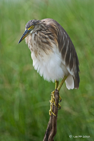 Pond Heron  A different look.......