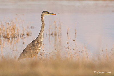 Great blue heron - looked like a juv to me..???