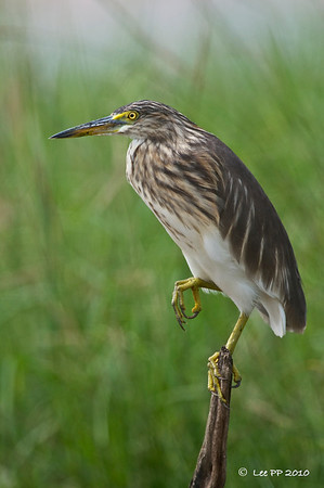 Pond Heron  A one-legged pose.......