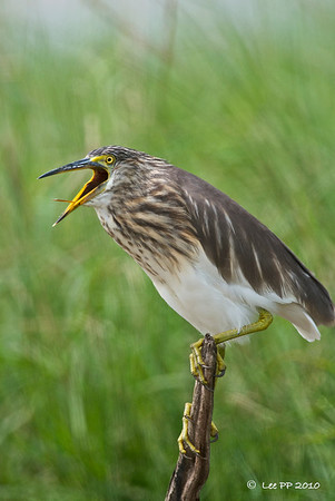Pond Heron  And gave me some nice expressions.....