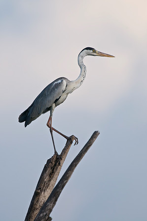 Grey heron @ Kinta Nature Park, Perak, Malaysia