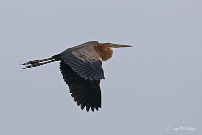 Purple Heron in flight @ Bidor, Perak, Malaysia