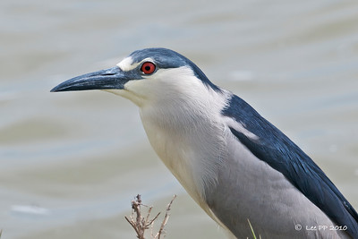 Black-crowned Night Heron - adult