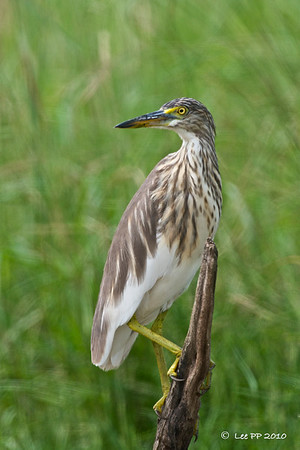 Pond heron  Most of them would have quickly flown off even before you turned off your car engine. Glad this guy stayed.