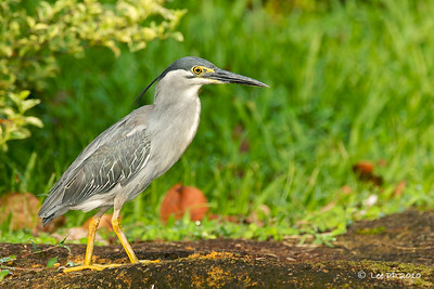 Little heron @ Japanese Garden, Singapore