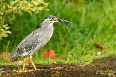 Little heron @ Japanese Garden, Singapore