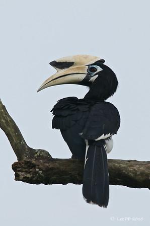 Pied Hornbill, Kg Gajah, Perak, Malaysia