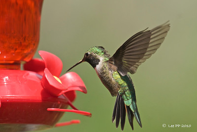 Broad-tailed hummingbird @ Utah, USA  It knew where to go to......
