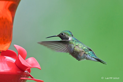 Broad-tailed hummingbird @ Utah, USA
