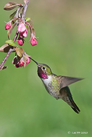 Broad-tailed hummingbird @ Utah, USA  Two shots and it was gone....
