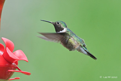 Broad-tailed hummingbird @ Utah, USA
