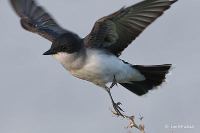 Eastern Kingbird  Photographer @ Norman Crittenden - My guide