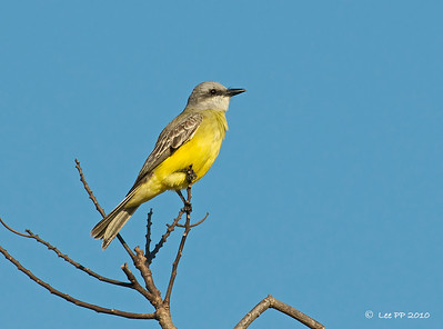 Couch's Kingbird  Saw this bird when I stepped out of my room to view the hotel's surrounding.....