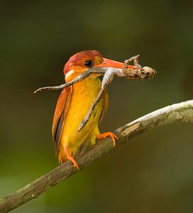 Oriental-dwarf Kingfisher @ Panti Malaysia