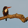 White-throated Kingfisher @ Penang, Malaysia