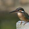 Common Kingfisher @ Manjung, Perak, Malaysia