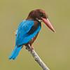 White-throated Kingfisher @ Kinta Nature Park, Perak, Malaysia