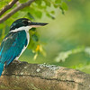 Collared Kingfisher @ Chinese Garden, Singapore.