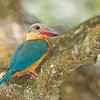 Stork-billed Kingfisher @ Japanese Garden, Singapore