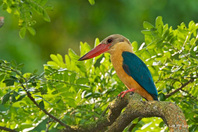 Stork-billed Kingfisher @ Japanese Garden, Singapore